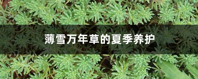薄雪万年草的夏季养护