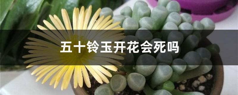 五十铃玉开花会死吗