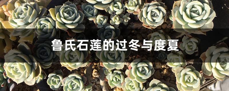 鲁氏石莲的过冬与度夏