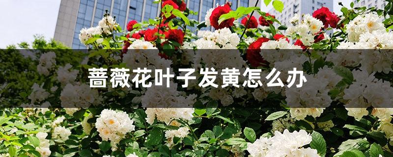 蔷薇花叶子发黄怎么办