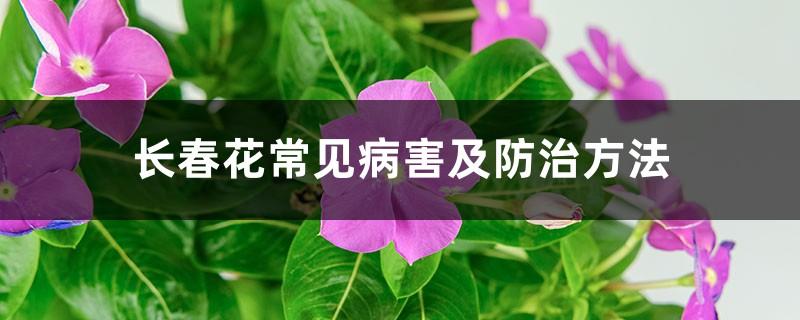 长春花常见病害及防治方法