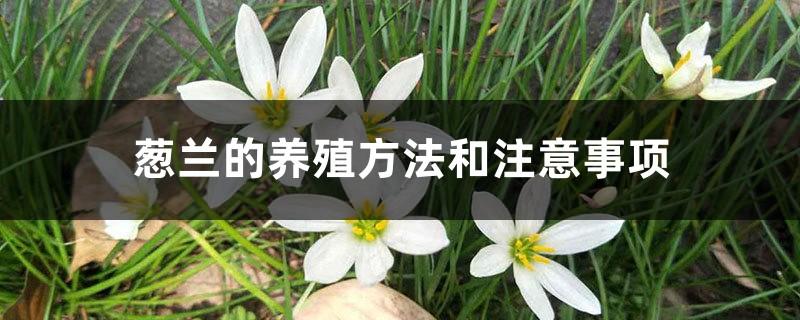 葱兰的养殖方法和注意事项