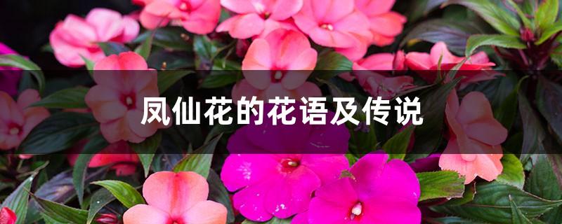 凤仙花的花语及传说