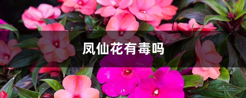 凤仙花有毒吗
