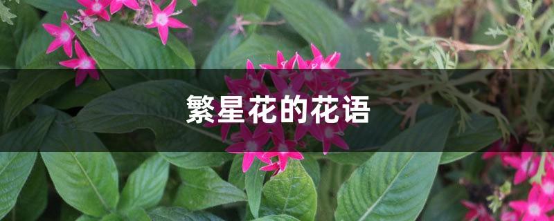 繁星花的花语