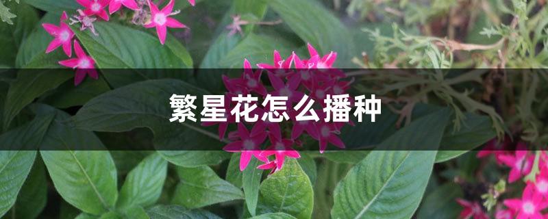 繁星花怎么播种