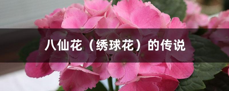 八仙花(绣球花)的传说