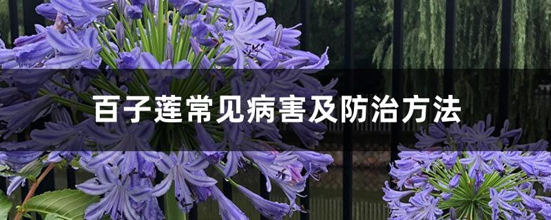 百子莲常见病害及防治方法