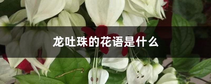 龙吐珠的花语是什么