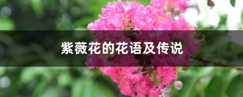紫薇花的花语及传说