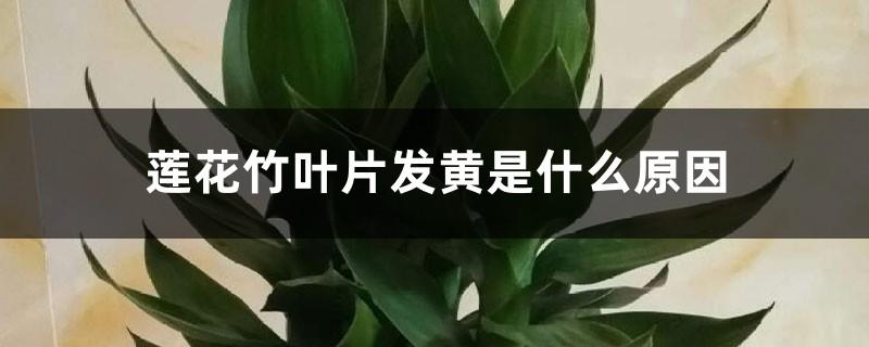 莲花竹叶片发黄是什么原因