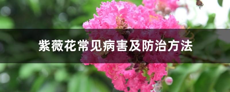 紫薇花常见病害及防治方法