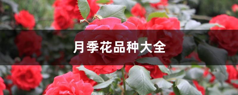 月季花品种大全