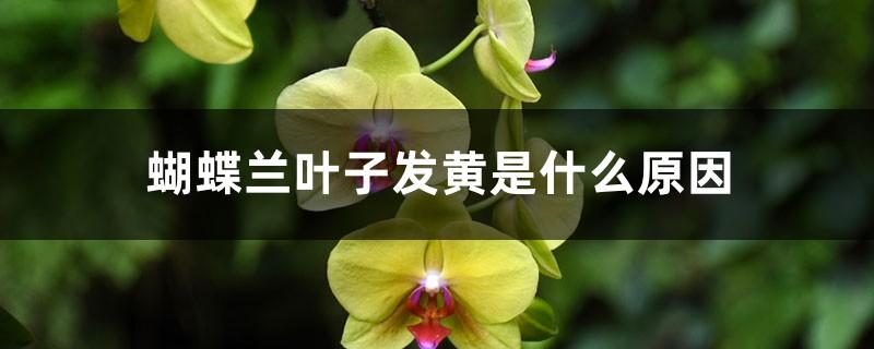 蝴蝶兰叶子发黄是什么原因