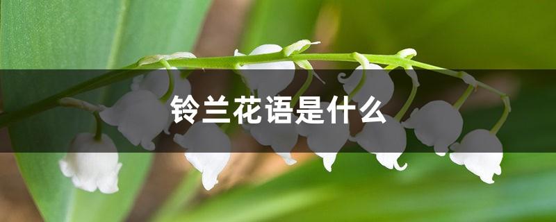 铃兰花语是什么