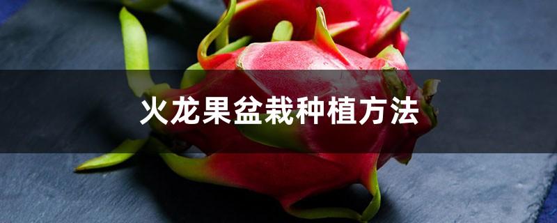 火龙果盆栽种植方法