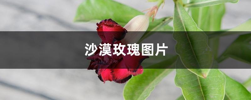 沙漠玫瑰图片