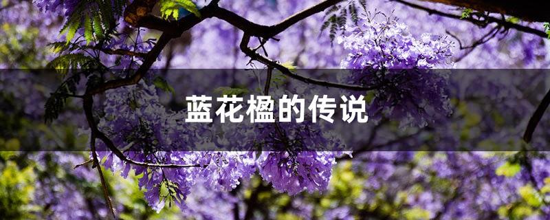 蓝花楹的传说