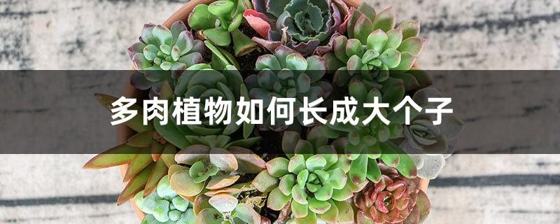 多肉植物如何长成大个子