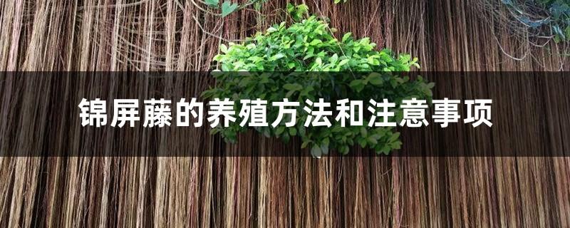 锦屏藤的养殖方法和注意事项