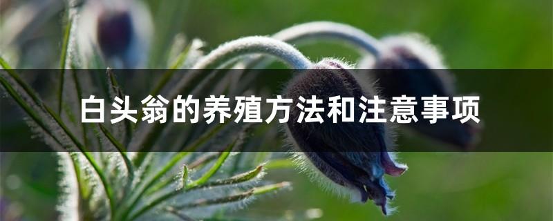 白头翁的养殖方法和注意事项