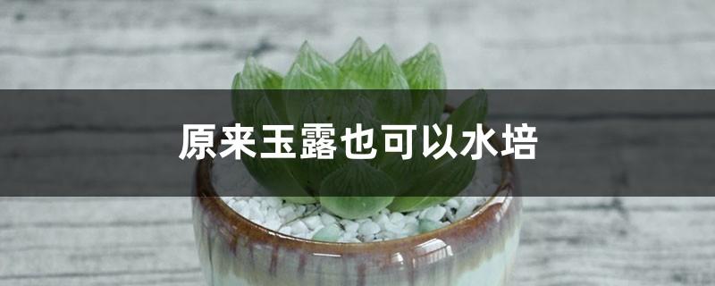 玉露的水培方法
