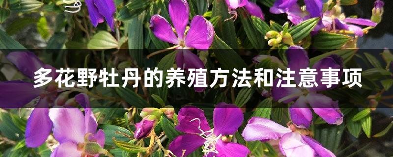 多花野牡丹的养殖方法和注意事项