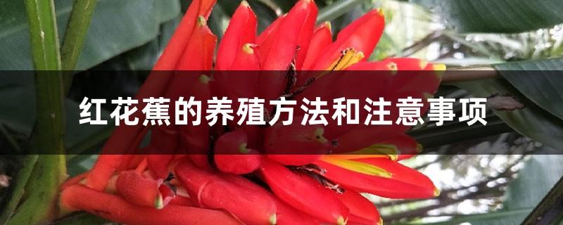 红花蕉的养殖方法和注意事项