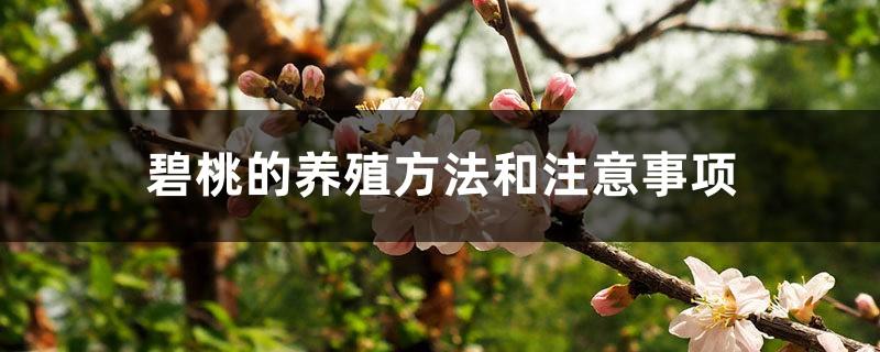 碧桃的养殖方法和注意事项