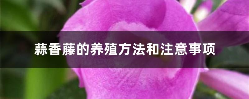 蒜香藤的养殖方法和注意事项