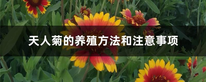 天人菊的养殖方法和注意事项