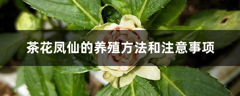 茶花凤仙的养殖方法和注意事项