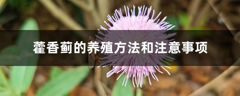 藿香蓟的养殖方法和注意事项