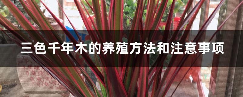 三色千年木的养殖方法和注意事项