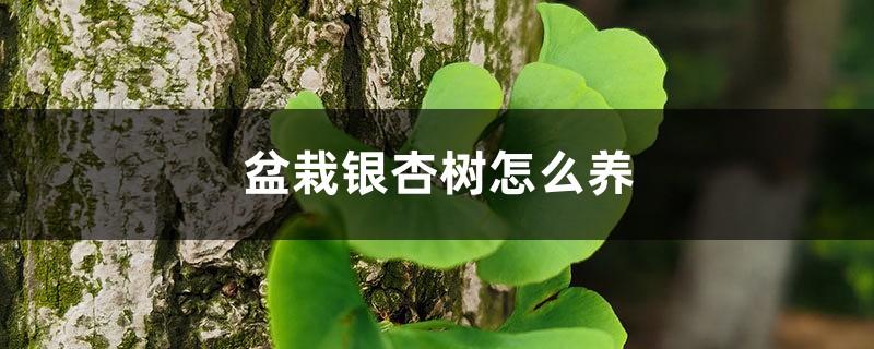 盆栽银杏树怎么养