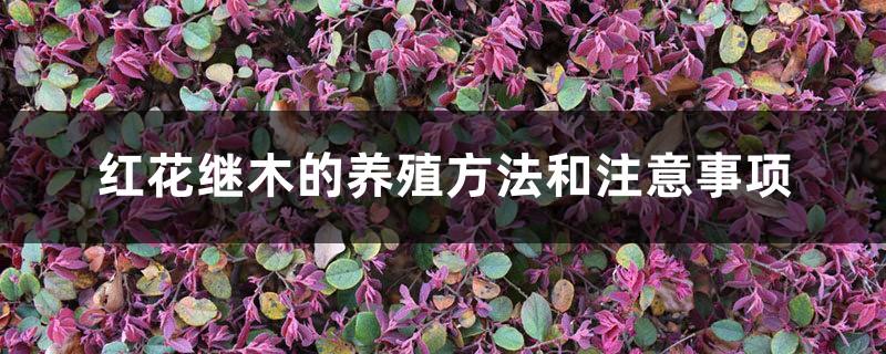 红花继木的养殖方法和注意事项