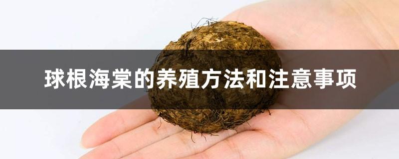 球根海棠的养殖方法和注意事项