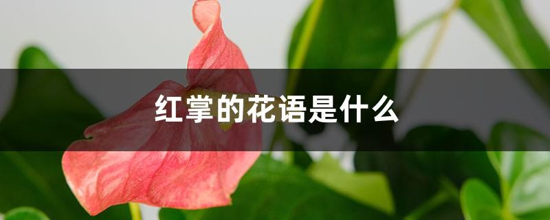 红掌的花语是什么