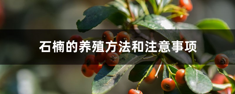 石楠的养殖方法和注意事项