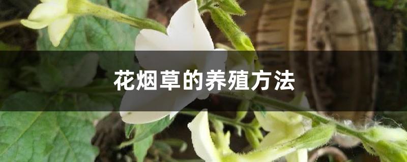 花烟草的养殖方法