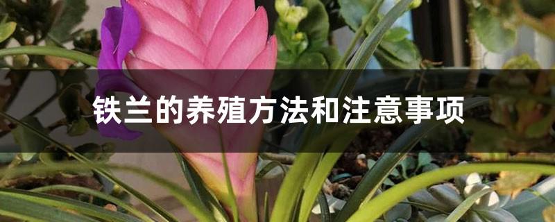 铁兰的养殖方法和注意事项