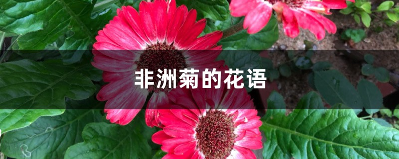非洲菊的花语