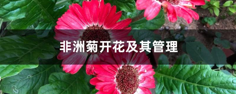 非洲菊开花及其管理