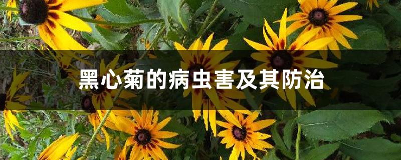 黑心菊的病虫害及其防治