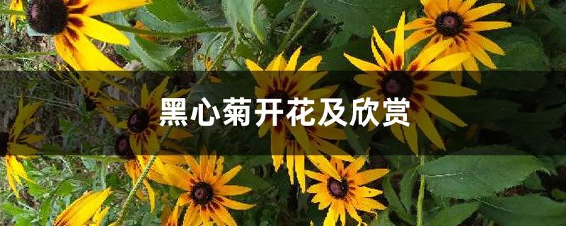 黑心菊开花及欣赏