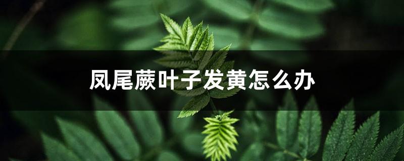 凤尾蕨叶子发黄怎么办