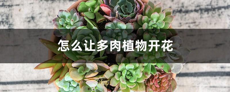 怎么让多肉植物开花
