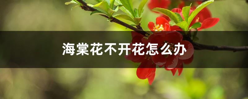 海棠花不开花怎么办