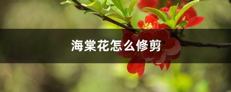 海棠花怎么修剪
