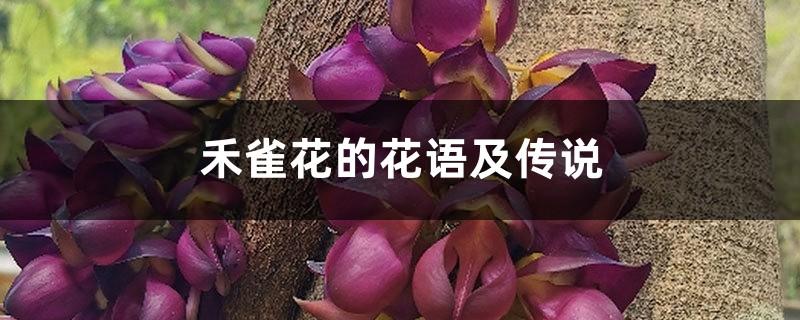 禾雀花的花语及传说